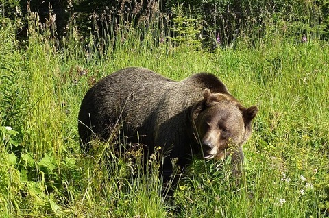 grizzly-1180556_960_720