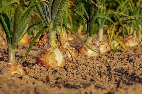onion-3540502_640