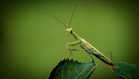 praying-mantis-1170776_640