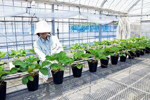 【悲報】佐賀の新品種「いちごさん」の苗、盗難相次ぐ……
