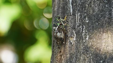 cicada-3573474_640