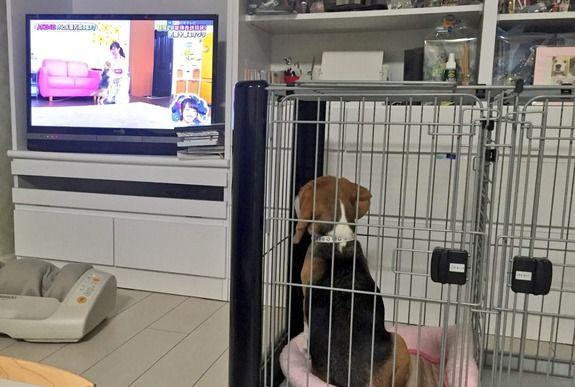 【AKB48】AKBINGO!を食い入るように見る、武藤十夢の愛犬オグリがカワイイ!