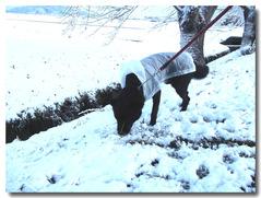 ラッキー雪の中の散歩