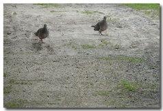キジバト2羽