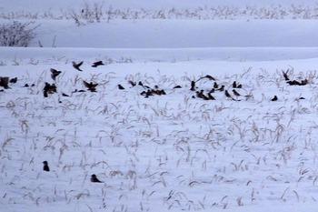 雪の田んぼの中にたくさんのスズメ