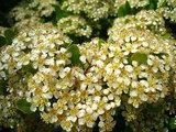 ビラカンサの花