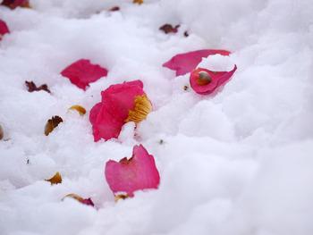 雪の中にサザンカの花びら