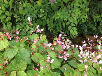 シュウカイドウ(秋海棠)の花