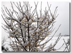 満月蝋梅が満開状態に雪景色
