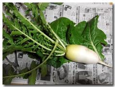 加賀伝統野菜「打木うつぎ」源助大根収穫
