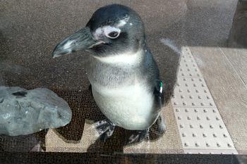 ペンギン可愛い