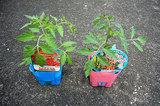 ミニトマト2個