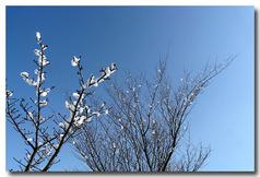 さくらの木に雪の花