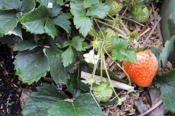 イチゴ「宝交早生」の花が咲き