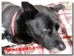 ラッキー・・・雪の散歩で疲れた!!
