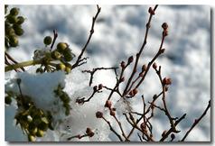 雪の中のブルベリーの蕾