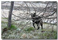 桜並木道もうっすら雪・・・ラッキー散歩