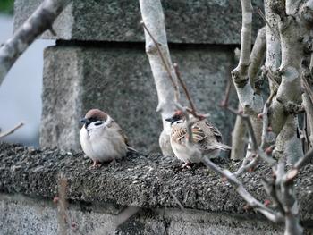 スズメ2羽羽毛で丸く