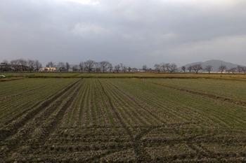 桜並木から北側は、麦