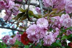 八重桜と赤い木瓜の花一輪
