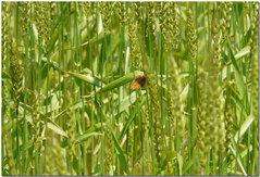麦畑にベニシジミ