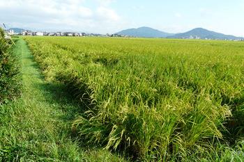 自宅前の稲が倒れている。