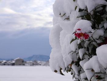 サザンカの花が雪の中から・・・