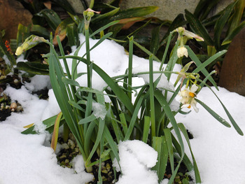 日本水仙が雪で折れている