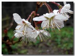 雨の中・・・庭のサクランボの花