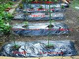 夏野菜定植する。