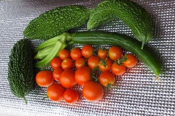 ミニ菜園の収穫