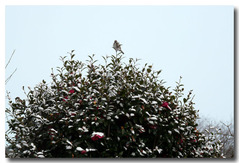 雪のサダンカの上に雀が・・・