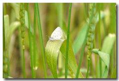 麦の葉に・・・ヤマトシジミ蝶
