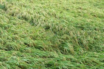 20号の台風で稲が倒れている!!