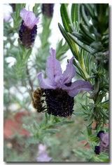 イタリアンラベンダーと蜂