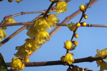 ロウバイの花が咲いている