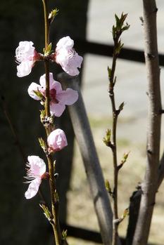 首途(かどで)八幡宮桃の花
