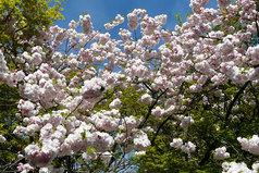 龍安寺八重桜・・・1