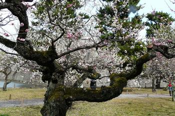 梅の花No1