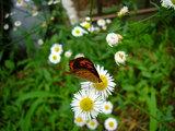 小さな赤褐色のチョウ