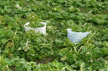 籠の中菜花いっぱい