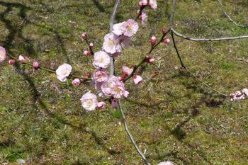 梅の花ピンクの八重