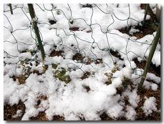 絹さやえんどう雪で寒そう〜〜