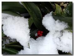 雪の中のオモト(万年青)の赤い実