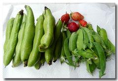 収獲、ソラマメ、イチゴ4個、赤花絹サヤ、スナップエンドウ