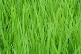 雨に濡れた稲の露・・・。