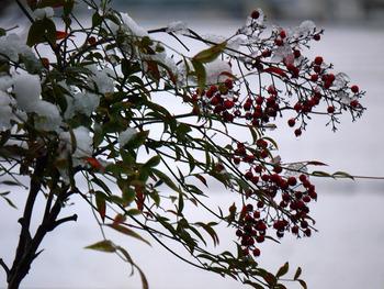 南天の赤い実と雪