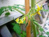 ミニトマトこぼれ種に花が・・・。