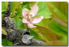 花梨の花・・・。