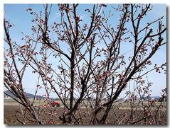 19日の土手のサクランボの花が咲きかけ